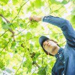 おいしい甘みのある葡萄は「星のぶどう」/雲南・島根